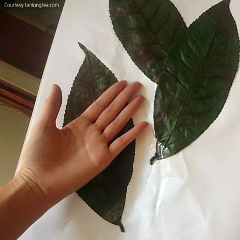 Giant Tea Leaf