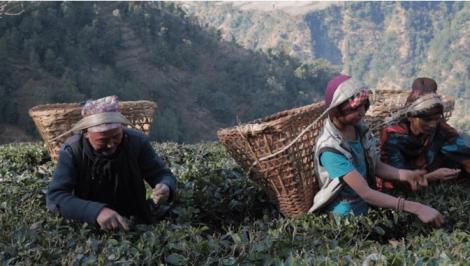 tea-picking-in-nepal